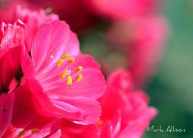 Pink by Mark-Allison