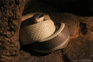 Cave Rat Snake by Beloved-chan