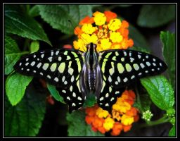 butterfly by RichardRobert