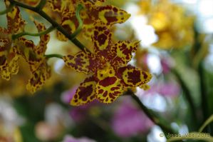 Orchid VIII by friedapi