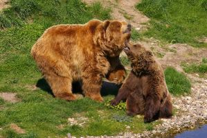Playing Bears III by expression-stock