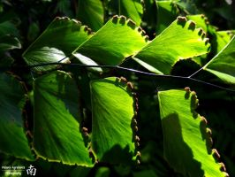 Maidenhair Fern by melsofmaui