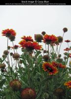Blanket Flowers Stock by Cassy-Blue