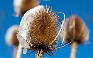 Thistle 2560x1600 by hermik