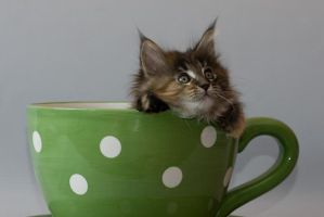 Little cup of coon Chitsa by ropo-art