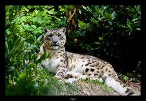 Snow leopard by Lupodellasteppa79
