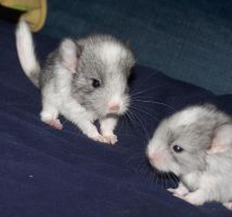 Baby Chinchillas by JessicaEdwards
