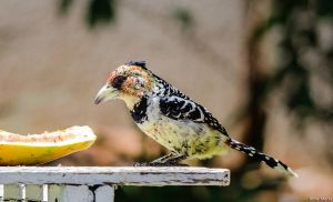Crested Barbet by AnneMarks
