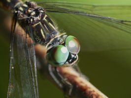 ... Blue dasher .., by duggiehoo