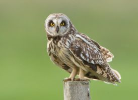 Strike a pose -  Short-eared owl by Jamie-MacArthur