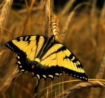 Swallowtail by dragon-fly-to-me