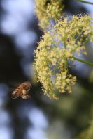 honeybee approaches by KarmicCircle