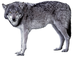 Grey wolf - wolves 1 - golden eyes - Stock by AStoKo