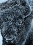 Plains Bison - Nomad by JestePhotography