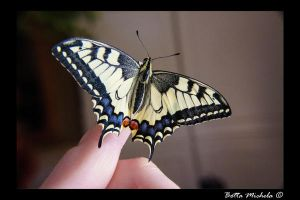 Butterfly Papilio Machaon by felinia88