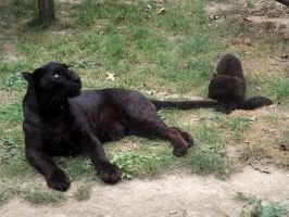 2014 - Black leopard and cub 4 by Lena-Panthera