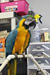 Blue and gold macaw by DogHeartsKoala