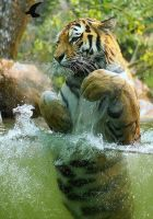 amur tiger by lokinst by BigCats