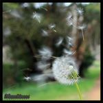 Dandelions 2 by munchinees