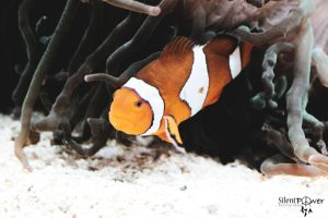 Clown fish by CiindyCore