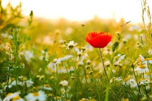 poppy within camomile by Heros-Lubu