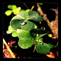 Clovers 2 by Discomax
