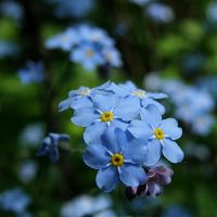 Forget-me-not by dsfotods