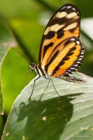 Tiger Striped Longwing by dllavaneras