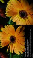 Yellow Daisy Stock 6 by Melyssah6-Stock