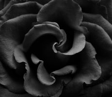 A Rose in Black and White 2 by Fiona-Ashley