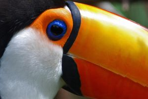Toco Toucan by robbobert