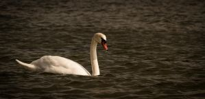 swan... by mortenthoms