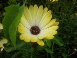 Yellow Dog Daisy by The-Happy-Girl