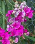 Sweet Pea I by MadGardens