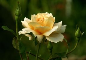 yellow rose with buds by SvitakovaEva