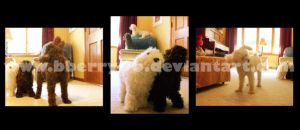 Poodle Triptych by bberry06