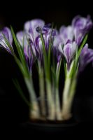 Crocuses by DIN-IRINA