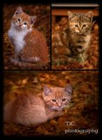 Fall kitten collage by TlCphotography730