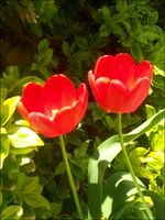 Twin Tulips. by Tatriana