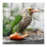 Lineated Barbet by kiew1