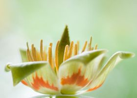 Flower of the Tulip Tree 2 by planet0