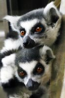 Cuddled lemurs by 53kshun8