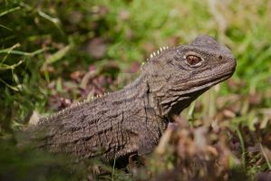 Tuatara by ribbonworm