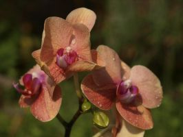 Coral-Coloured Orchid 02 by botanystock
