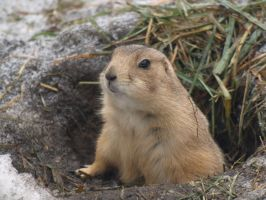 Chilly Prairie Dogs by KodaSilverwing