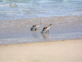 Sandpipers snacking on mussles by jerrinator