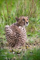 Cheetah 09-98 by Prince-Photography