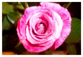 The heart of the rose by Natamalie