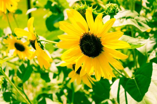 Sunflower-1-6 by anditosan