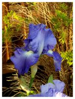 The Blue Iris by bataleigh